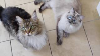 Maine Coon Molly Meows for Ice Cubes