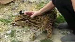 Sweet Pet Ocelot