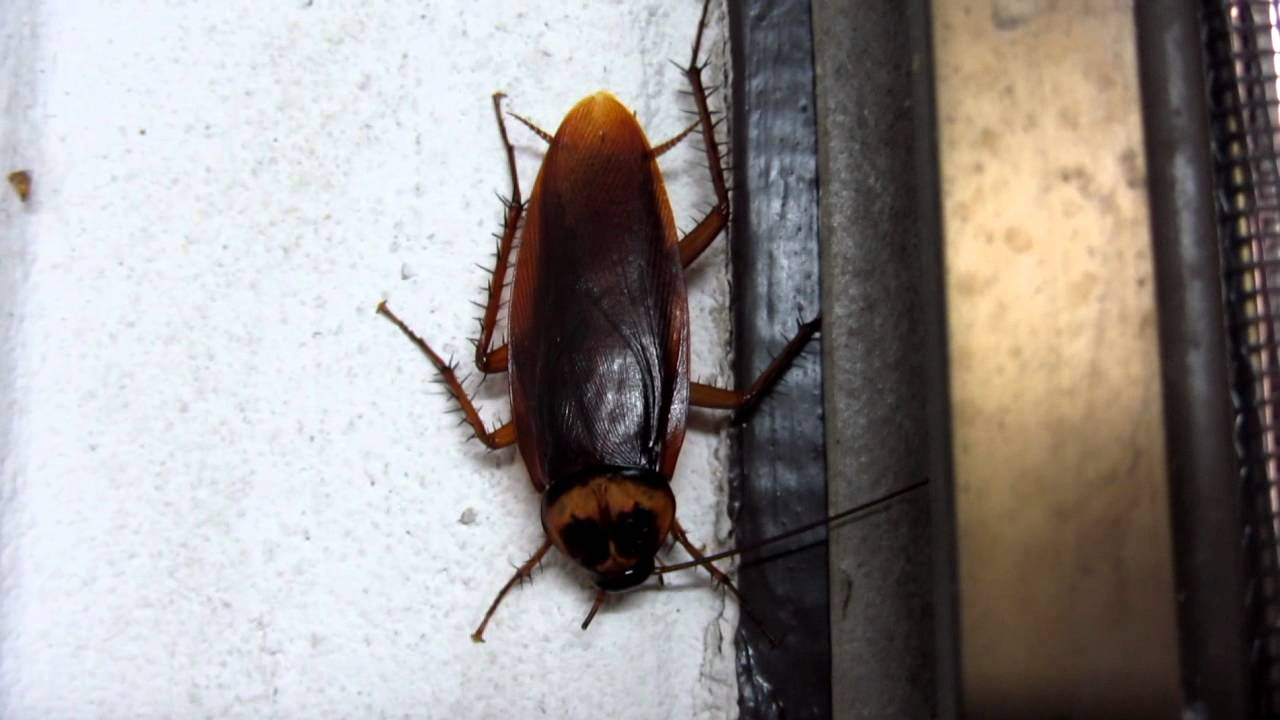 EURGHHH Huge Scarey Cockroach In Thai Bathroom P HD YouTube - Cockroach in bathroom