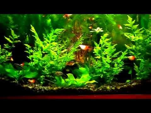 #Aquarium.  Удивительное развитие  папоротника.