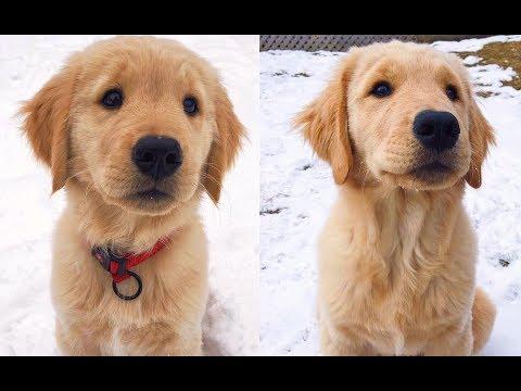 1 Year Amazing Golden Retriever Dog Transformation - Flash The Golden Speedster
