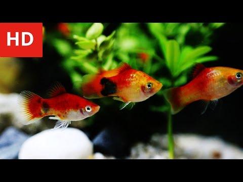 Beauty Of Mickey Mouse Platy Fish - HD 1080p