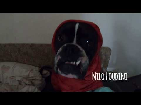 Poor German Boxer Dog stuck in straightjacket - escapes like Houdini