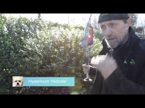 How To Cut Back Hypericums And A Yew Hedge For The First Time