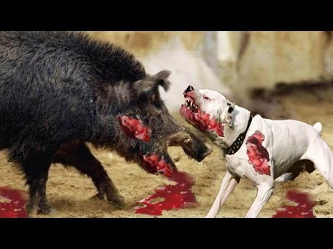 Most Amazing Wild Animal Attacks - Pitbull vs Wild Boar - Lion vs Hippo Real Fight – Prin