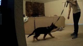 Jacks first day of obedience training. German Shepherd puppy training.