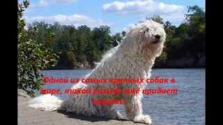 Командор Король собак