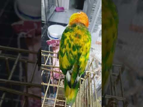 Caique parrot キモモシロハラインコ mutation rostkappenpapagei シロハラインコ 突变 Pionites leucogaster 白腹鹦哥 变种