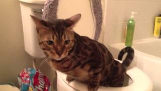 potty trained bengal cat