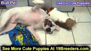 Bull Pei, Puppies, For, Sale, In, Clifton, New Jersey, Nj, Morris, Passaic, Camden, Union, Ocean, Mo