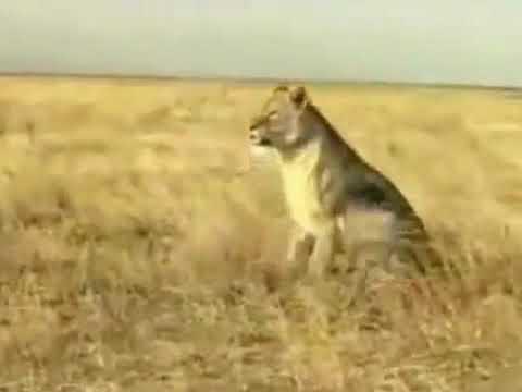 Kinh hoàng Lợn rừng tấn công Sư tử.