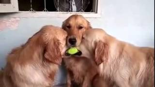 Golden Retriever Acts As Peacemaker In Game Of Tug Of War