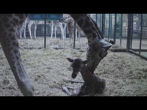 Thumbnail: Giraffe born! Stunning CCTV footage captures precious moment rare calf is born at Chester Zoo