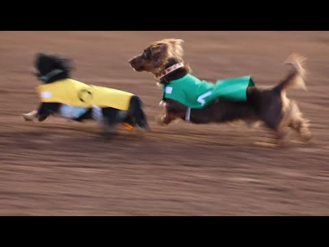 You've Got To See These Wiener Dogs Racing