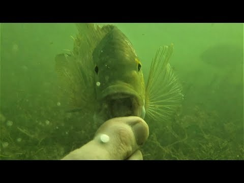 why-is-this-fish-trying-to-eat-me?