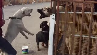 Kangal vs Dogo Argentino vs Rottweiler - Royal Rumble of the Dogs