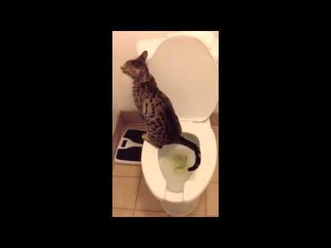F5 Savannah Cat 'Bandit' Using the Toilet!