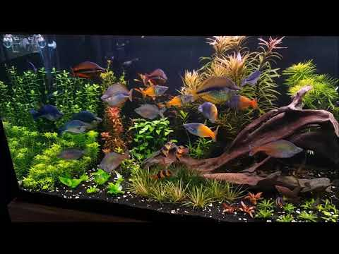 120 Gallon Rainbow Fish Planted Aquarium October 2017