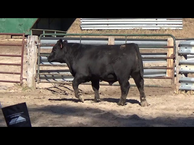 Connealy Angus Lot 53