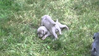 Weimaraner Puppies Getting Used To The Great Outdoors