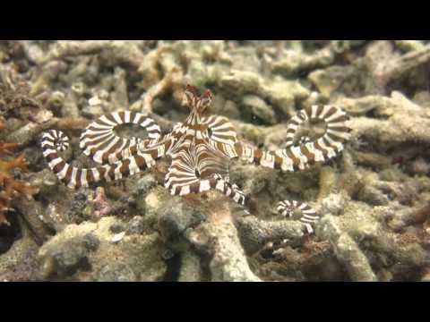 Wonderful wonderpus octopus shows off colour changing abilities