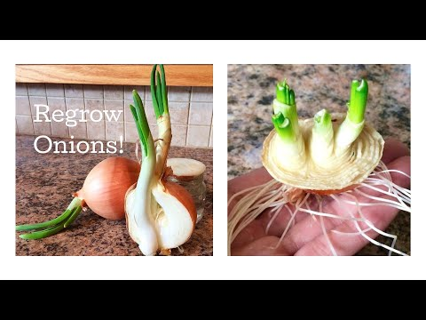 How to Regrow Onions