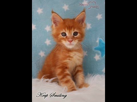 Heart Stealer Keep Smiling - 7 weeks old sweet maine coon boy