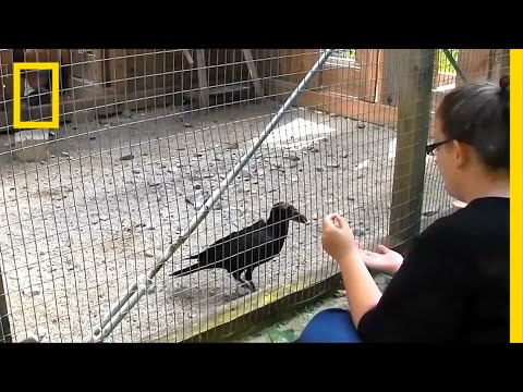 Ravens Like You Better When You're Being Fair | National Geographic