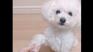 【ほのぼの日記】愛犬たぴちゃんの可愛い芸コーナー!【ころん】カメラ すとぷり