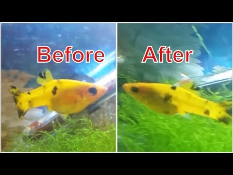 Female Molly Before And After Giving Birth - How To Know When Molly Fish Will Give Birth
