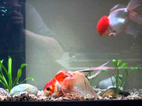 Voile de chine et oranda youtube for Nourriture poisson rouge voile de chine