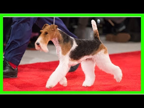 King the Wire Fox Terrier Claims Best in Show at 2018 Beverly Hills Dog Show