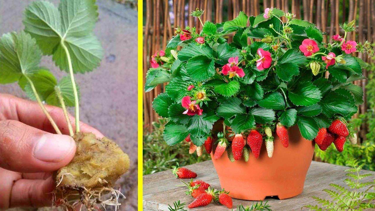 6 Cara Praktis Menanam Strawberry Dalam Pot Youtube