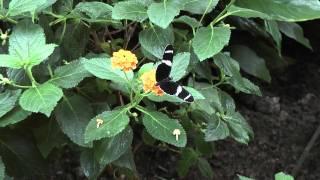 """Berkenhof 's Tropical Zoo HD 1080p Kom kijken bij Berkenhof 's Tropical Zoo & Vlindertuin  Midden in de Zeeuwse polders in de schitterende """"Zak van Zuid-Beveland"""" vindt u Berkenhof 's Tropical Zoo & Vlindertuin;. De familie Antes heet u welkom om te komen kijken naar alles wat wij in de afgelopen jaren met eigen handen hebben opgebouwd met uiteraard als grote trots onze tropische overdekte vlindertuin, die al door velen als één van de mooiste van Europa is geprezen! Een ideaal dagje uit in een van de mooiste dagattracties van Zeeland.  Kom kijken en overtuig u zelf!"""