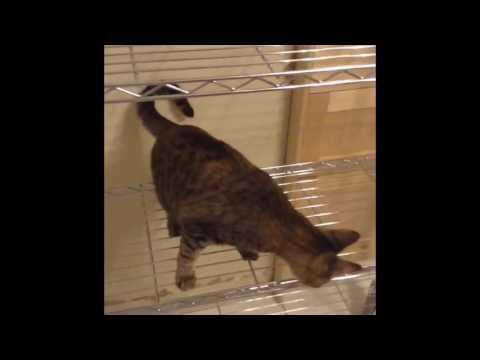 Ceylon the smartest cat