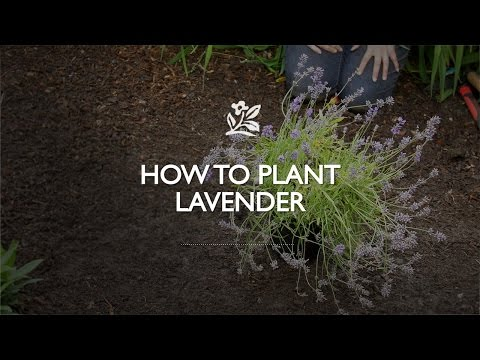 How to Plant a Lavender   Monrovia Garden