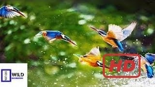 Documentary Birds Nat Geo Wild Documentary Bird vesves Multi Species Wild Discovery Channel H