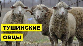 Разведение овец Тушинской породы как бизнес идея | Овцеводство | Тушинские овцы