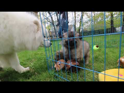 Big Sister Samoyed Meets Keeshond Brother
