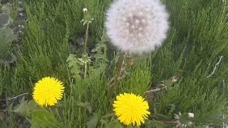 満開に開花のたんぽぽの花茎は花が咲き終えると(頭種)種子(綿毛)が...