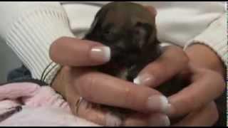 Beyoncé ist der kleinste Hund der Welt