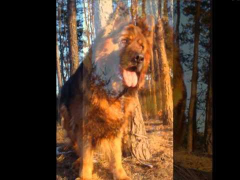 German Shepherd  GALILEO