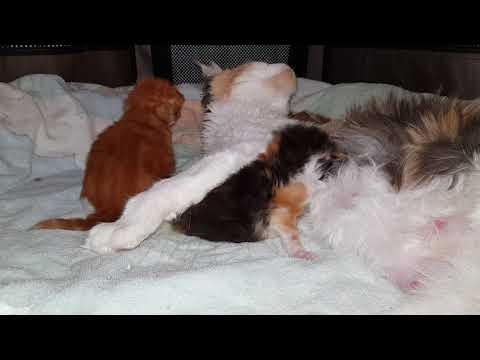 kittens Raskat Maine Coon