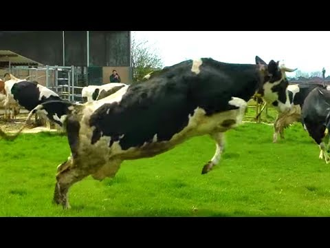 Cows Jump For Joy After Seeing Grass For The First Time In Months