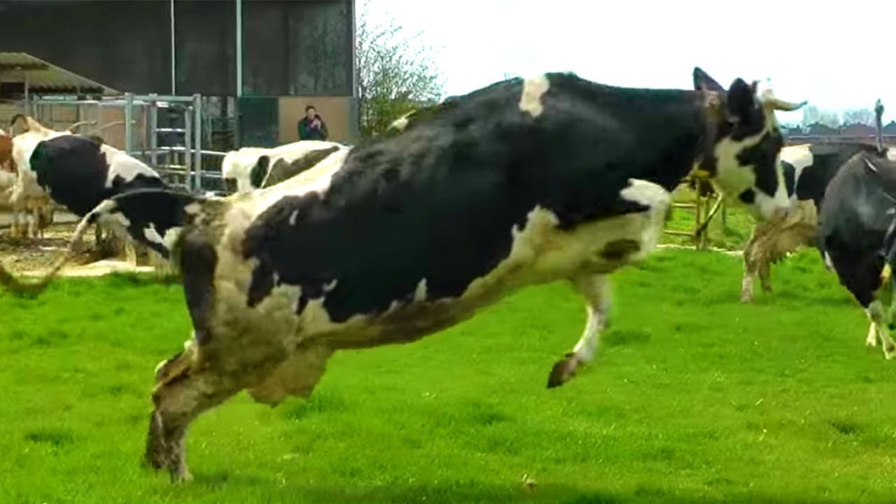 Cows Jump For Joy After Seeing Grass For The First Time In -6079