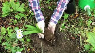 アガパンサスの植え付けとそのポイント