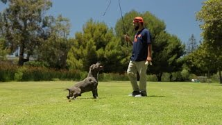 THE MAGIC OF THE FLIRT POLE AND WORKING DOG BREEDS