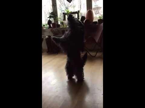 #Tibetan #Dog#Dancing