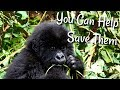 One Thing You Can Do To Help Save Gorillas
