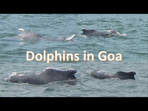 Dolphin spotting in Arabian Sea at Goa
